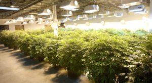Michigan medical marijuana background checks